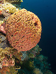 Apo Reef, Sulu Sea -- Orange sponge with tiny goby on it on a sea wall.