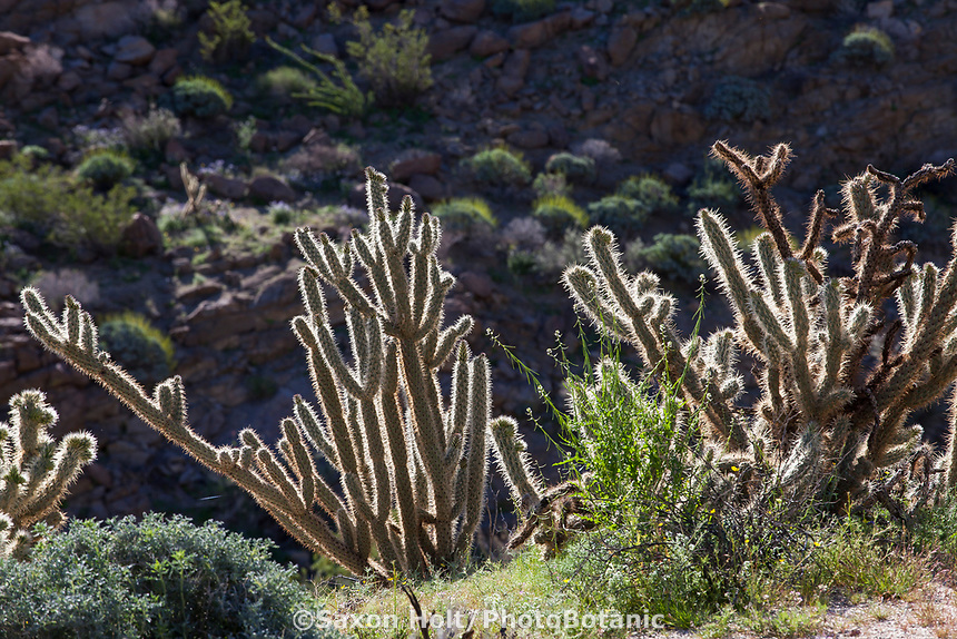 Cylindropuntia ganderi Gander's cholla, cactus backlit, California native plant Anza Borrego State Park