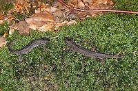 Kammmolch, Landtracht, Schlichtkleid, Kammolch, Kamm-Molch, Molch, Molche, Triturus cristatus, warty newt, European crested newt
