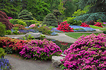 Kubota Garden, Seattle, WA: Blossoming azaleas and rhododendrons  in the Tom Kubota Stroll area of the garden