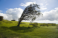 Tree bent by trade winds with blue sky in green pastures surrounding Kohala Mountain Road on the Big Island of Hawaii