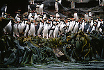 A rookery of rare Snares penguins crowds the edge of a watercourse on Snares Island, New Zealand.