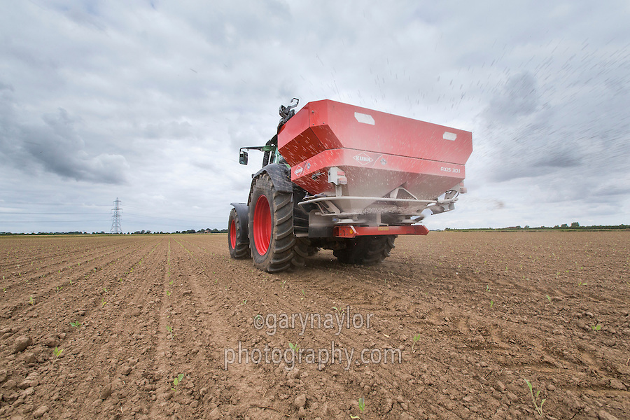 Spreading base fertilser onto recently planted cauliflowers - August, Lincolnshire