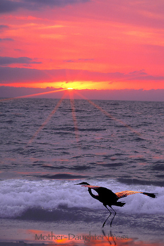Great Egret takes flight into red sunset