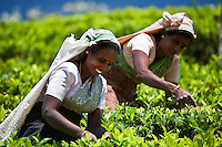 Picking tea in the clean clear air of the highlands of Sri Lanka. (Photo by Matt Considine - Images of Asia Collection)