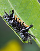 Milkweed Tiger Moth caterpillar; Euchaetes egle;  on common Milkweed; Asclepias syriaca; PA, Philadelphia, Schuylkill Center