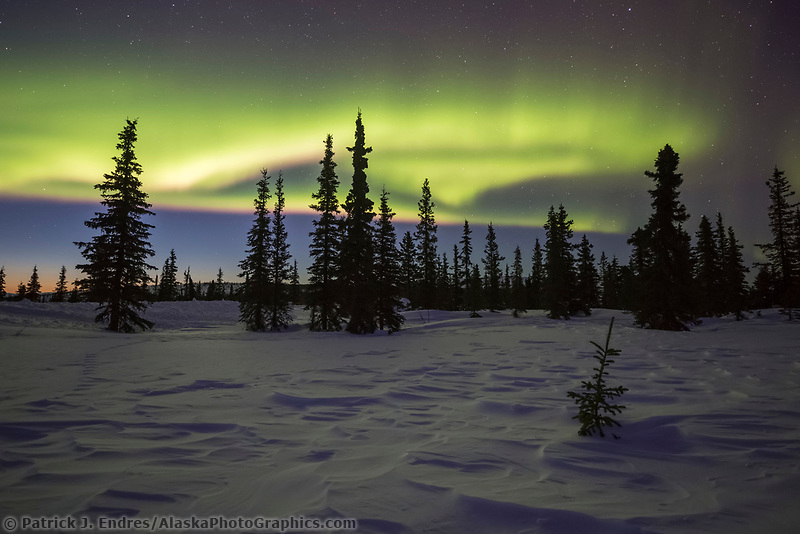 Northern lights display over the spruce trees of the boreal forest in Alaska.