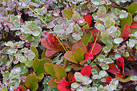 Arctic bearberry on dew covered morning tundra, Denali National Park, Alaska