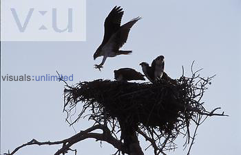 Osprey ,Pandion haliaetus, at nest, Sanibel Island, Florida, USA
