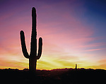 Saguaro cactus (Cactaceae) in the Sonoran desert at sunset, Saguaro Cactus National Park, Phoenix, Arizona, USA .  John offers private photo tours in Arizona and and Colorado. Year-round.