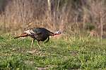 Eastern wild turkey - male