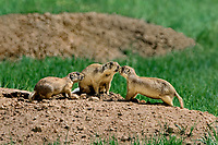 673030134c utah prairie dogs cynomys parvidens a threatened species  ibteract by their burrow in bryce canyon national park utah united states