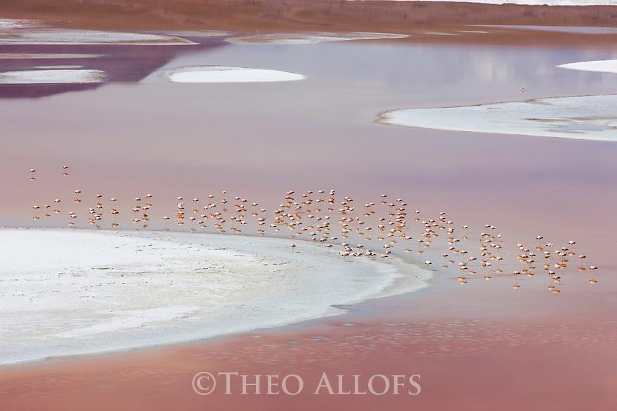 Bolivia, Altiplano, James' flamingos (Phoenicoparrus jamesi) in Laguna Colorada