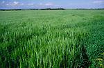 AREJHA Young green barley stalks Butley, Suffolk, England