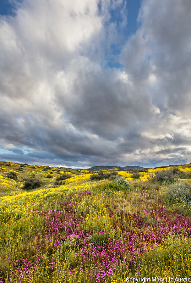 Carrizo Plain National Monument, CA: Yellow flowering monolopia and purple flowering Owl's-clover on hillside with evening clouds