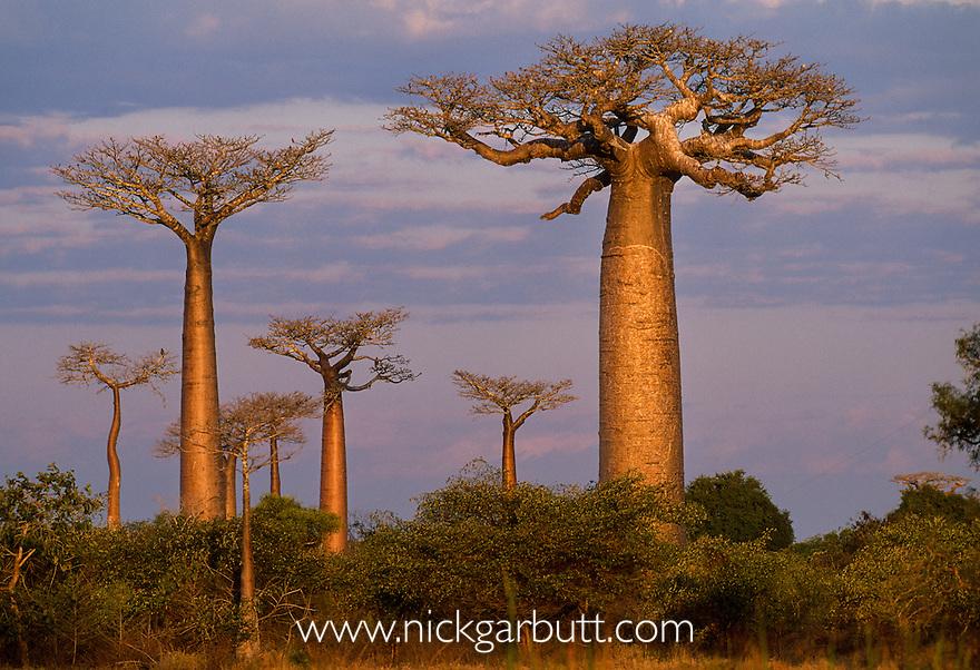 Grandidier's Baobabs (Adansonia grandidieri)  and deciduous forest. Near Morondava, west Madagascar
