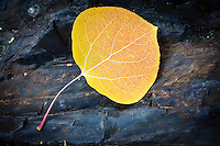 No image tells the story of autumn in the Eastern Sierra quite like a single aspen leaf resting on a bed of granite