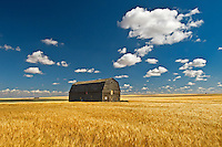 Duram wheat and barn <br /> Liebenthal<br /> Saskatchewan<br /> Canada