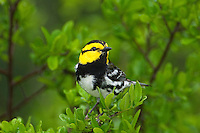 591850039 a wild federally endangered male golden-cheeked warbler setophaga chrysoparia - was dendroica chrysoparia - perches in a fir tree in the texas hill country texas united states