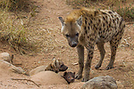 Spotted Hyena (Crocuta crocuta) female with five month and one month old pups at den, Kruger National Park, South Africa