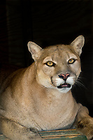 656320017 a mountain lion felis concolor rests in its den at a wildlife rescue facility - animal is a wildlife rescue animal  - species is native to most of the new world