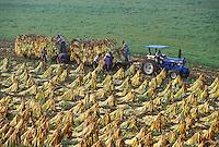 Laborers harvesting tobacco, near Lexington, Kentucky