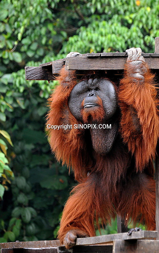 The dominant male Aman at Matang Reserve, Sarawak, Malaysia, August 2009.  Aman, who was rescued from a Sarawak market in 1989, is part of Sarawaks's Orangutang Rehabilitation Programme and was once blind. He was operated in 2007 thanks to funds from a UK charity, Orangutan Appeal UK,  and can now see in a world first operation.  The Matang center is coordinated by British man Leo Biddle<br />