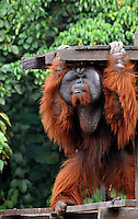 The dominant male Aman at Matang Reserve, Sarawak, Malaysia, August 2009.  Aman, who was rescued from a Sarawak market in 1989, is part of Sarawaks's Orangutang Rehabilitation Programme and was once blind. He was operated in 2007 thanks to funds from a UK charity, Orangutan Appeal UK,  and can now see in a world first operation.  The Matang center is coordinated by British man Leo Biddle<br /><br />Photo by Richard Jones / Sinopix