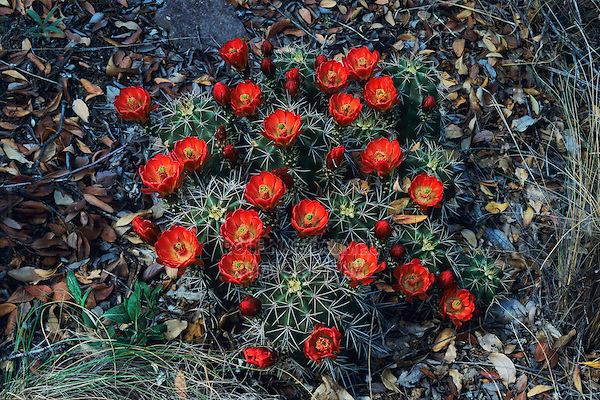 Claret Cup Cactus, Echinocereus triglochidiatus, blooming, Big Bend NP, Texas, USA, April 2006