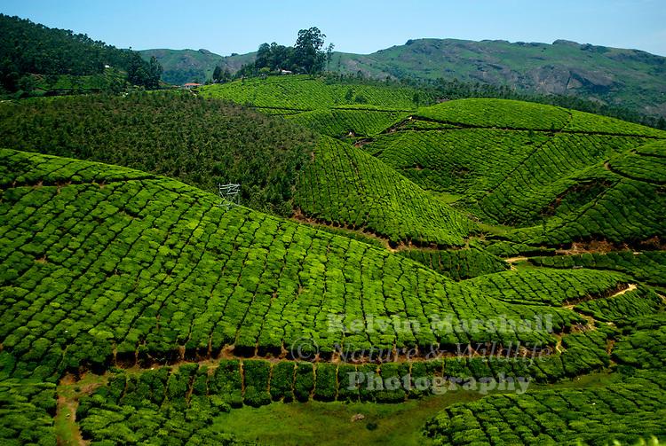 The beautiful rolling hills covered in tea plantations. Periyar (Idukki district ) - Kerala, Southern India.