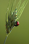 7 Spot Ladybird, coccinella septempunctata, Provence, adult on grass stem, backlight by sun, soft green and red colours, .France....