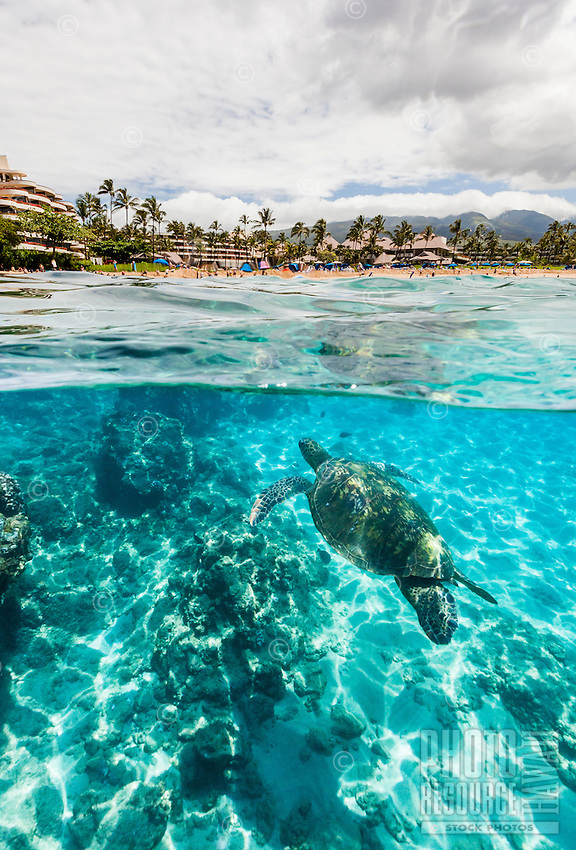 Split-level view of sea turtles swimming below and hotels and tourists above on Maui.