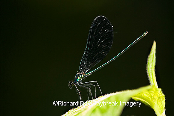 06014-002.04 Ebony Jewelwing (Calopteryx maculata) male, Lawrence Co. IL