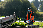 Pictured: Workers dressed in PPE wade through water as they harvest hundreds of thousands of kilograms of watercress during the beginning of the watercress farming season at Manor Farm in Alresford, Hants.<br /> <br /> The skilled farmers harvested over 3 and 1/2 tonnes, or 3,500 kilograms of watercress from the beds at the farm. With the average weight of a paper-bound punnet coming in at 85 grams, the workers were able to harvest over 41,000 punnets in a single picking, and are able to pick up to 70,000 punnets or 6,000 kilograms at bigger farms across Hampshire and Dorset. <br /> <br /> Manor Farm is based in Alresford, Hants which is recognised as the UK's watercress capital. The town also plays host to an annual festival, the Alresford Watercress Festival which draws thousands of visitors  as well as naming the heritage steam line after the vegetable; the Watercress Line.<br /> <br /> The watercress is grown in spring water, of which Hampshire is an excellent location due to its naturally forming chalk streams. Hundreds of thousands of litres flows through the watercress beds, which is formed when rain water percolates chalk directly into the ground and runs into springs. The chalk regulates the flow of the water by acting as a reservoir, and by doing so creates a stable flow regime for which ensures the growth of the watercress.<br /> <br /> The coronavirus pandemic has caused major disruption to the UK economy, with the closure of business' up and down the country as well and the enforcement of travel restrictions. The Watercress Company saw business drastically fall due to a lack of demand for their produce, and once sales picked up had to draft in extra workers in some farms to cope with the demand of seasonal picking. <br /> <br /> The Watercress Company has farms across Dorset and Hampshire, as well as internationally in Spain and the United States, ensuring the UK's demand for watercress can be met all year round. <br /> <br /> © Jordan Pettitt/Solent Ne