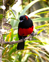 Scarlet-bellied tanager