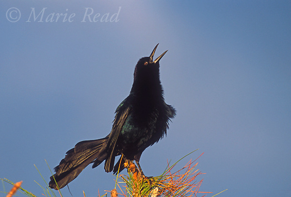 Boat-tailed Grackle (Quiscalus major) male calling, Florida, USA