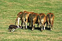 Elevage - Chien de troupeau