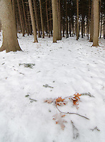 A light dusting of snow covers oak leaves and spruce boughs on the ground and on the trail that travels through the spruce plot at the Morton Arboretum in DuPage County, Illlinois