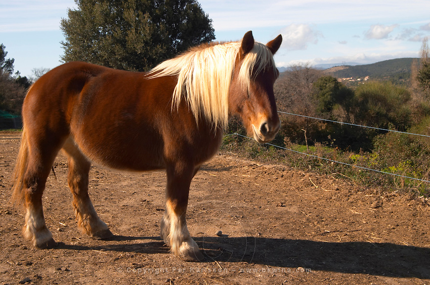 Domaine Fontedicto, Caux. Pezenas region. Languedoc. Horse for manually working the vineyard soil. France. Europe.