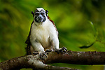 Geoffroy's Tamarin (Saguinus geoffroyi) in tree, Mamoni Valley, Panama