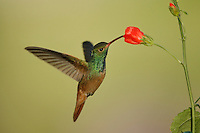 Buff-bellied Hummingbird - Amazilia yucatanensis - Adult male