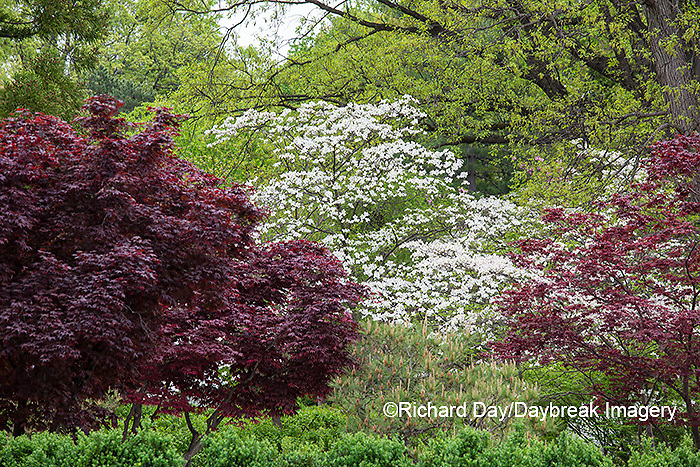 65021-03620 Japanese Garden in spring,  Missouri Botanical Garden, St Louis, MO