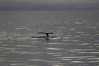 Humpback whales (Megaptera novaeangliae) surfacing and diving in calm sea. White Island, Svalbard archipelago, Arctic Ocean