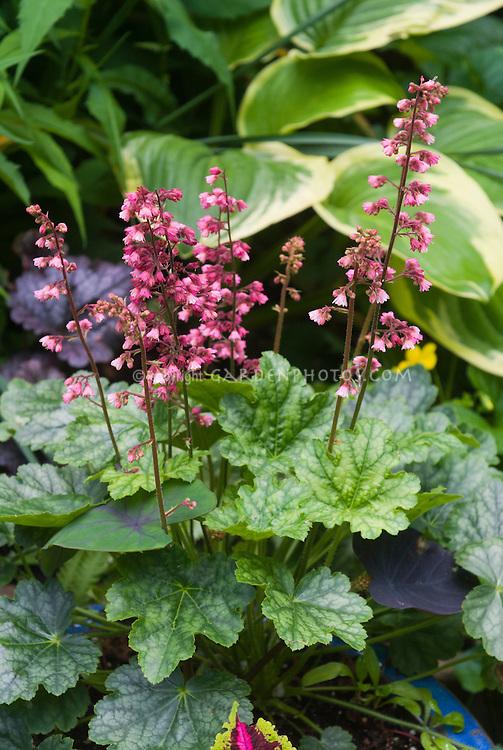 Heuchera Berry Timeless in flower