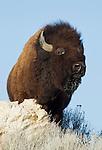 American Bison<br /> Bos bison<br /> Antelope Island State Park, Utah, USA