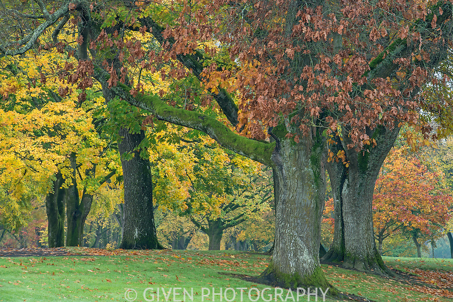 Oak and maple trees in autumn, Washington