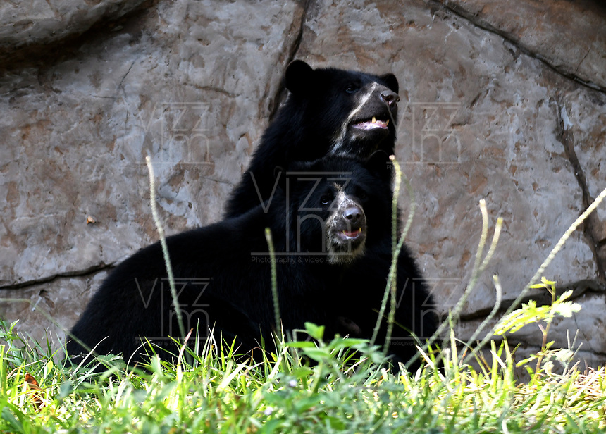 CALI - COLOMBIA - 27 - 09 - 2017: Osos de Anteojos (Tremarctos Ornatus), especie de oso en el Zoologico de Cali, en el Departamento del Valle del Cauca.  / Osos de Anteojos (Tremarctos Ornatus), bear species at the Cali Zoo, in the Department of Valle del Cauca. / Photo: VizzorImage / Luis Ramirez / Staff.