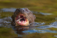 """Giant Otter (Pteronura brasiliensis) approaches within a few feet of the boat to feed on a small fish.  Locals call the Giant Otters the """"wolves of the river"""" due to their voracious appetites, pack hunting style, tight-knit family groups, and impressive weapons, including huge teeth, large webbed paws and excellent underwater vision.  The Pantanal, Brazil."""