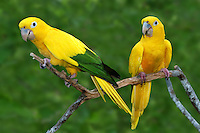 Golden or Queen of Bavaria Conure(Guaruba guarouba)
