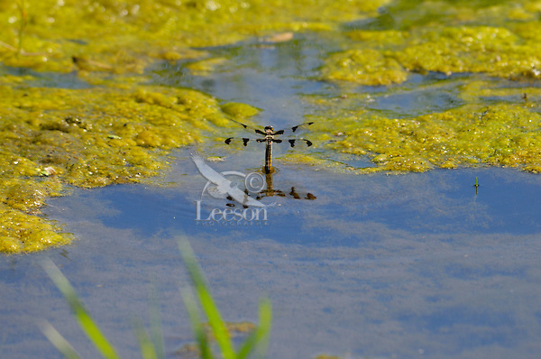 Female Twelve-spotted Skimmer (Libellula pulchella) depositing eggs in pond.  Pacific Northwest, Summer.